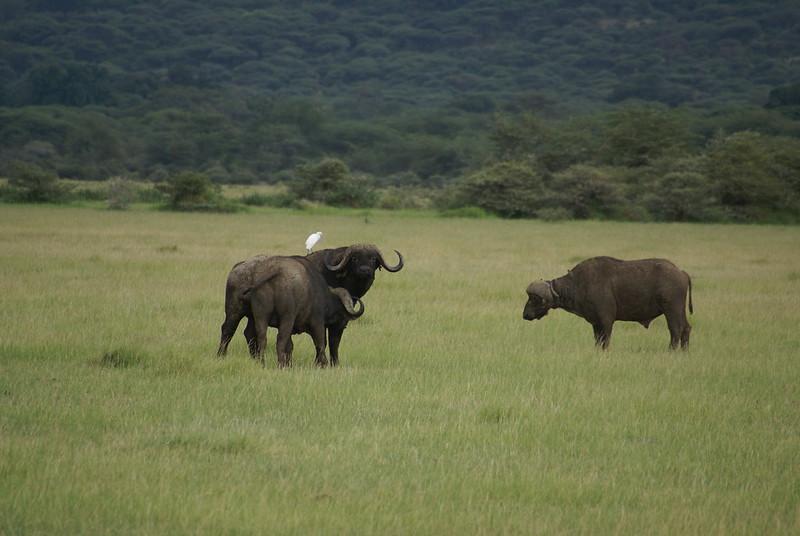 buffalo safari tanzania