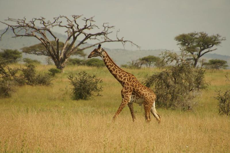 giraffe tanzania safaris