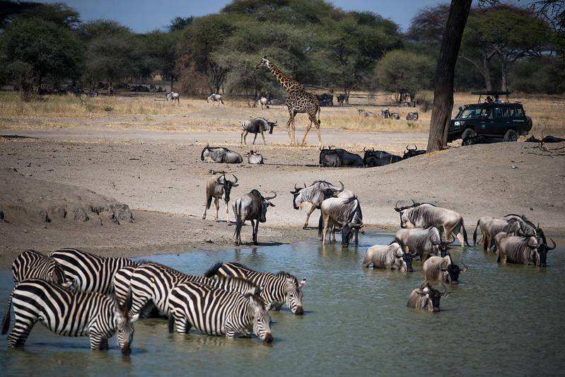 migration safari africa