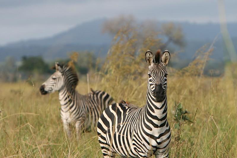 mikumi safaris