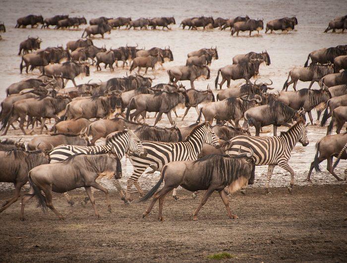Wildebeest Migration Safari Tanzania