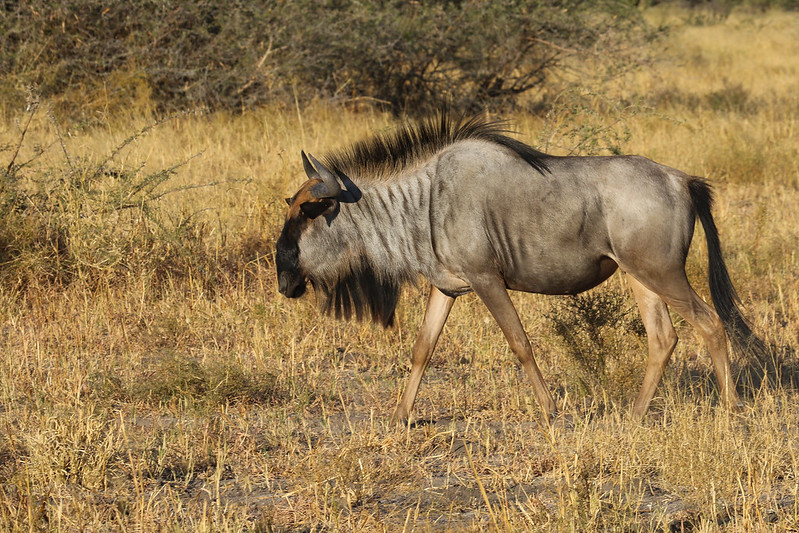 wildebeest safari tanzania