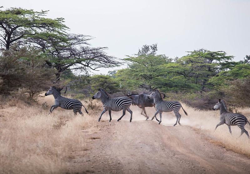 zebras in selous
