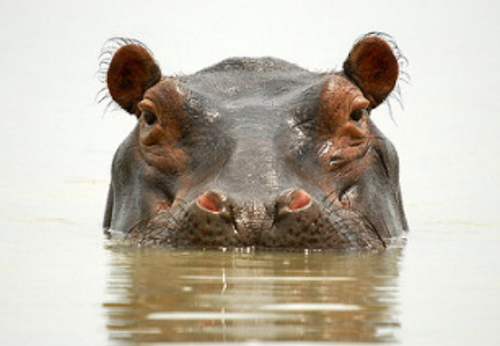 hippo selous safari
