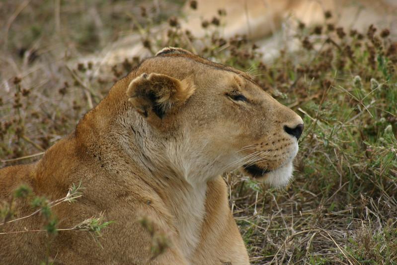 lion safari tanzania