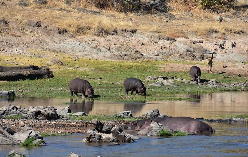 spectacular sunrise Ruaha, hippos